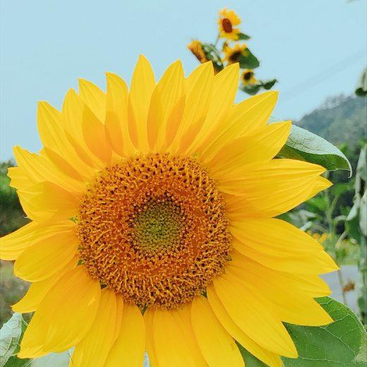 ATU ひまわり 向日葵